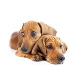 狗//被隔绝的两只逗人喜爱的达克斯猎犬小狗 库存图片