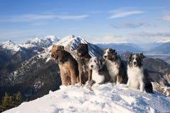 狗组装:airedalle狗,澳大利亚牧羊人,比利时malinois,有胡子的大牧羊犬,博德牧羊犬坐山的上面 图库摄影