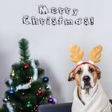 狗画象在圣诞节驯鹿头饰带的在毛皮t前面 库存照片