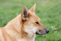 狗画象在外形的 免版税图库摄影