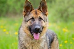 狗画象德国牧羊犬 年龄1年 免版税图库摄影
