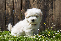 狗画象:逗人喜爱的小狗-小狗Coton de Tulear 免版税库存照片
