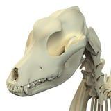 狗头骨解剖学-一块男性狗头骨的解剖学 库存图片