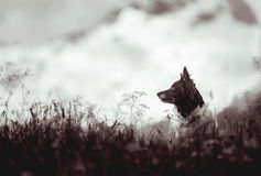 狗-黑白博德牧羊犬-坐草甸,在背景的山 库存照片