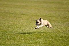 狗 免版税图库摄影