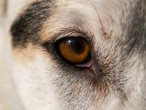 狗` s眼睛特写镜头  免版税库存照片