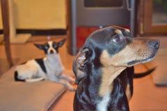 狗chihuaha达克斯猎犬 免版税图库摄影