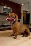 狗doxie粉红色太阳镜佩带 免版税库存图片