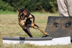 狗flyball赛跑 库存图片
