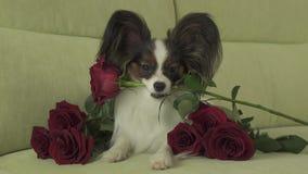 狗Papillon在他的在爱的嘴保留红色玫瑰在情人节股票英尺长度录影 股票视频