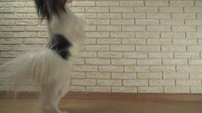 狗Papillon在它的后腿转动反对装饰砖墙股票英尺长度录影 影视素材