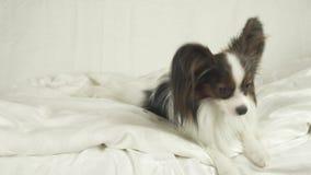 狗Papillon在床上说谎并且在储蓄英尺长度录影附近看 影视素材