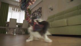 狗Papillon采取与主人的绳索戏剧在客厅股票英尺长度录影 影视素材