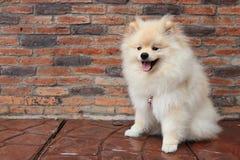 狗pomeranian小狗 库存图片