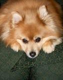 狗pomeranian的一点 库存照片