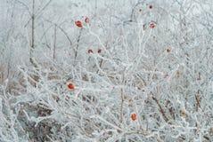 狗ro白色灌木冬天自然明亮的轻的背景  库存照片