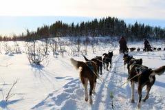 狗Sledding在雪 免版税库存图片