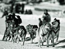 狗sledging的冬天 免版税库存图片