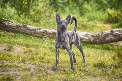 狗xolo户外xoloitzcuintli特写镜头 免版税图库摄影