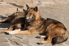 狡猾和机智的金黄狐狼爱甜点和野鸡 免版税库存照片