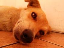 狡猾的小狗 免版税图库摄影