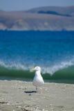 狡猾的海鸥 库存照片