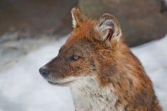 狡猾的狐狸 图库摄影