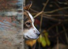 狡猾的狗滑稽偷看在他的多雨天气的摊外面 图库摄影