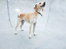 狡猾的狗 库存照片