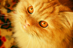 狡猾的猫红色 免版税库存图片
