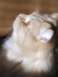 狡猾的猫红色 免版税图库摄影
