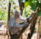 狡猾的猴子坐结构树 库存图片