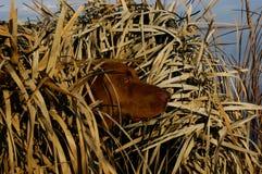 狩猎在窗帘的鸭子狗 库存照片