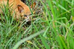 狩猎姜猫 免版税图库摄影