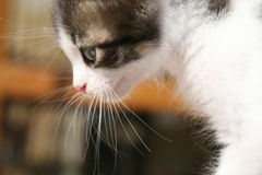 狩猎小猫 图库摄影