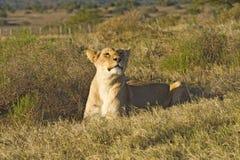 狩猎斑马 免版税库存图片
