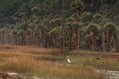 狩猎海岛白色白鹭 免版税图库摄影