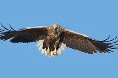 狩猎海鹰 库存照片
