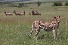 狩猎猎豹 图库摄影