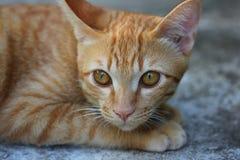 狩猎猫 库存图片