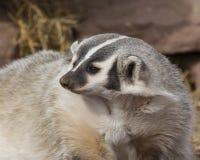 狩猎獾 库存图片