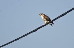 狩猎红色被盯梢的鹰 免版税库存图片