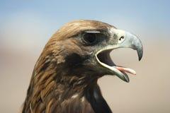 狩猎老鹰的特写镜头 免版税库存图片
