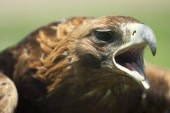 狩猎老鹰的特写镜头 免版税库存照片