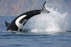 狩猎虎鲸 免版税库存图片