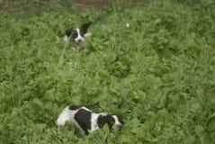 狩猎西班牙猎狗 免版税图库摄影