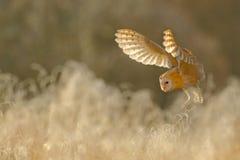 狩猎谷仓猫头鹰,在早晨好的光,动物在自然栖所,在草的着陆,行动场面,法国的野生鸟 免版税库存图片