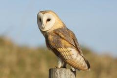 狩猎谷仓猫头鹰(晨曲的Tyto)在岗位栖息 免版税库存照片
