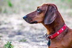 狩猎达克斯猎犬狗坐一块沼地在夏天 一条狗的画象在外形的 库存图片