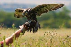 狩猎鸟 寻找与Saker猎鹰 在一只手上的猎鹰在猎人 免版税图库摄影